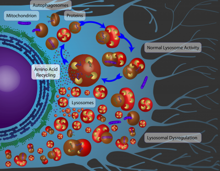 Autophagy – when recycling goes awry